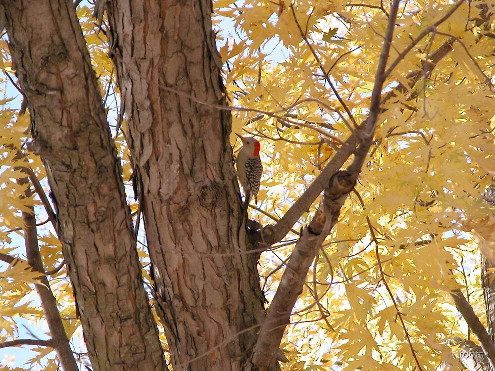 Woodpecker by toots