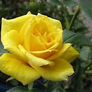 Tickle me yellow - not pink! Captivating Golden Rose von BlueMoonRose