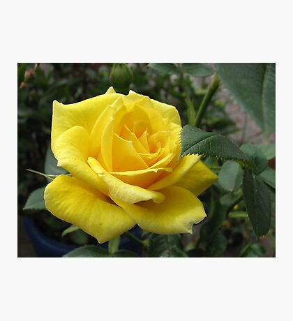 Tickle me yellow - not pink! Captivating Golden Rose Photographic Print