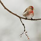 Common Red Poll (Carduelis flammea) by Marty Samis