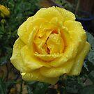 Mit Diamanten gedeckt - Pretty Yellow Minirose von BlueMoonRose
