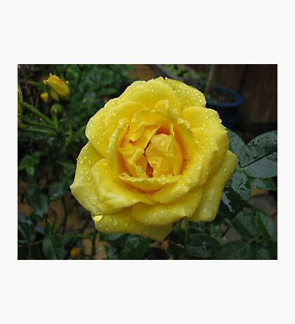 Decked with Diamonds - Pretty Yellow Minirose Photographic Print