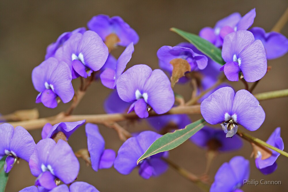 Hovea by Philip Cannon