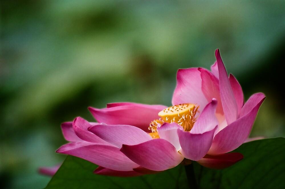 Lotus in the breeze by richardseah