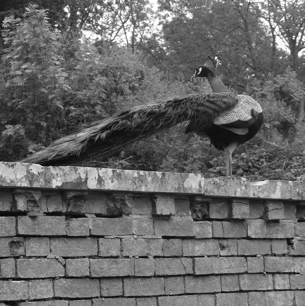 peacock by darkmonkuk