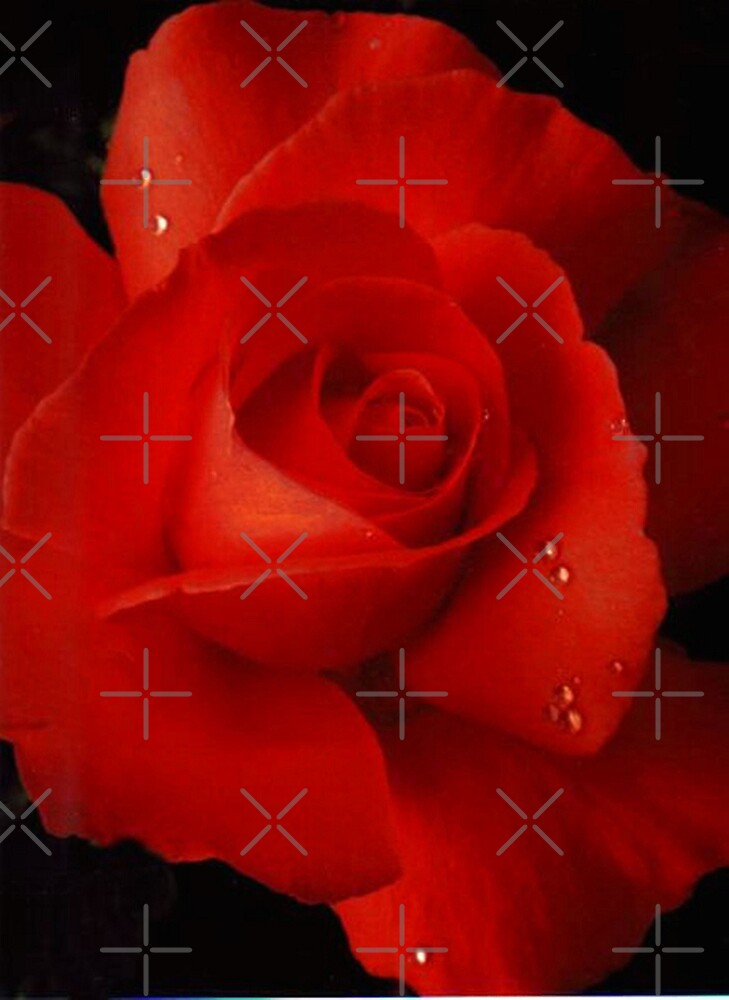 Rose red by dnlddean