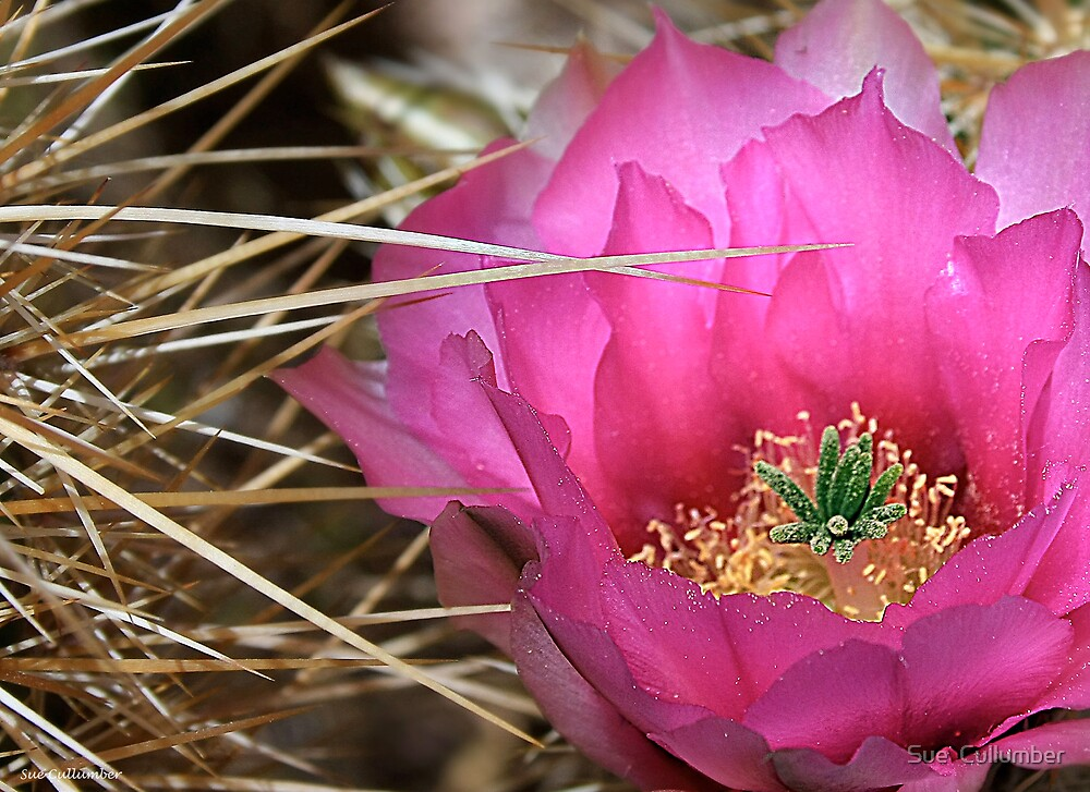 Prickly Pink by Sue  Cullumber