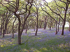Bluebells in Oak Wood in Wales by goldenginger