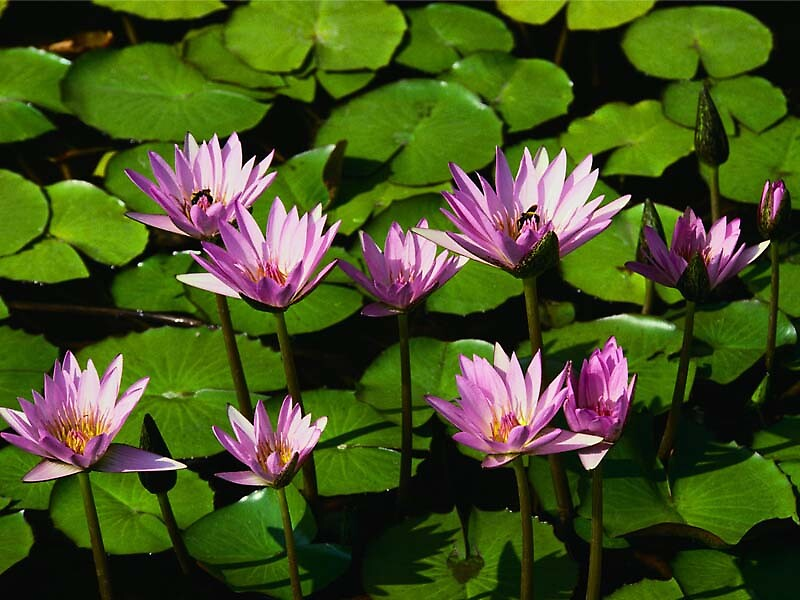 Water Lillies by rolltide10