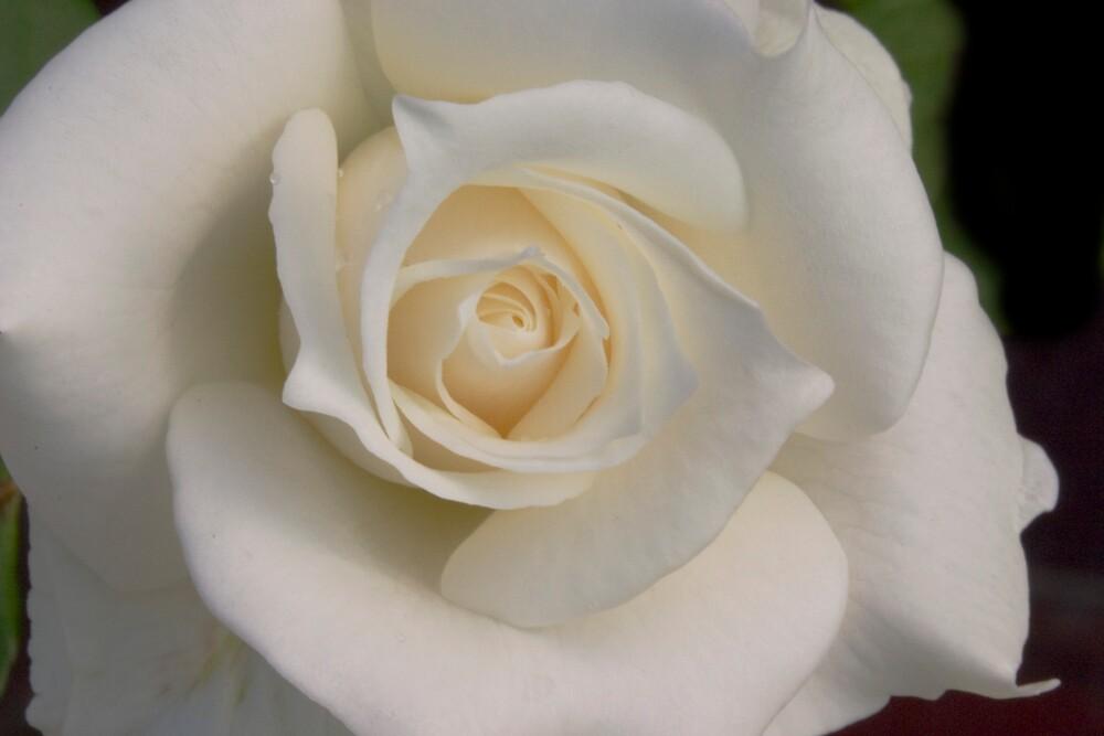 White Rose by Dorothy DuMond Cohen