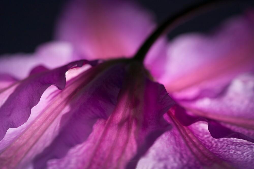 Hazy Purple Clamatis by Dorothy DuMond Cohen