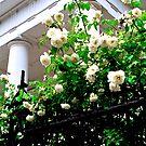 Noisette Roses, First Baptist Church by Benjamin Padgett