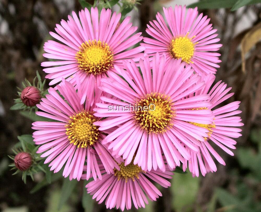 Pink pinwheels by sunshine0