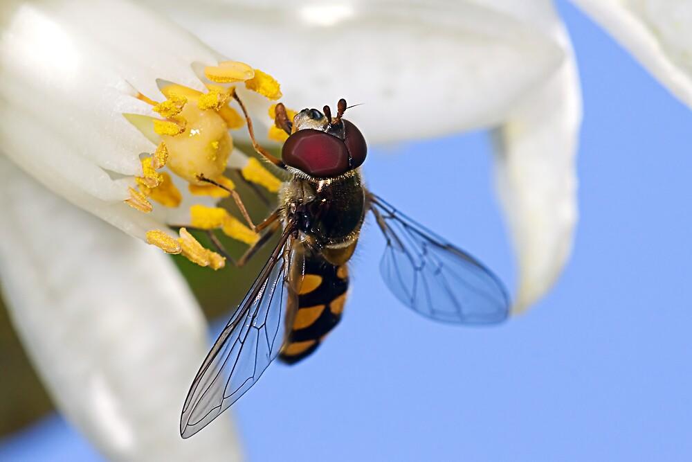 Hoverfly on a Mandarin Bloom by Greg Carlill