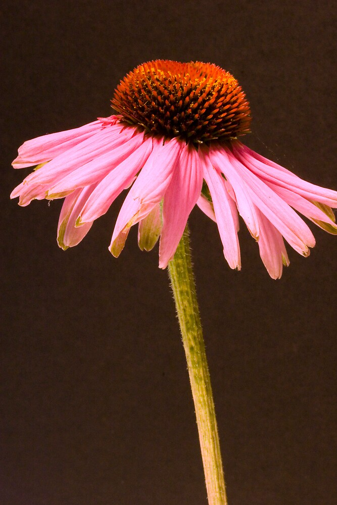 Cone Flower - Pink by Dorothy DuMond Cohen