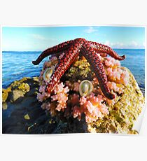 Red Starfish on Pink Corals Poster