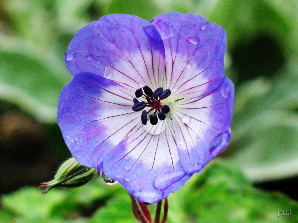 Little geranium flower by jacqi