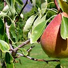 Pear by Peter L