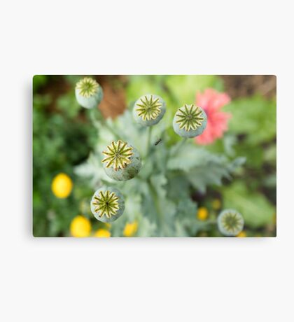 Patterns in Poppy Pods Metal Print