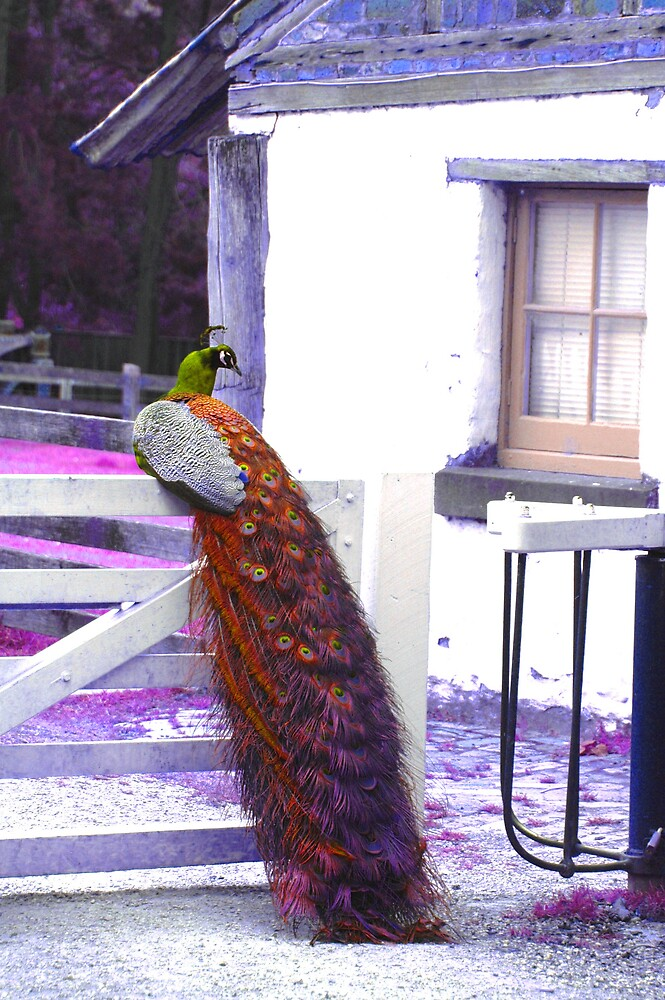 Peacock by Melle