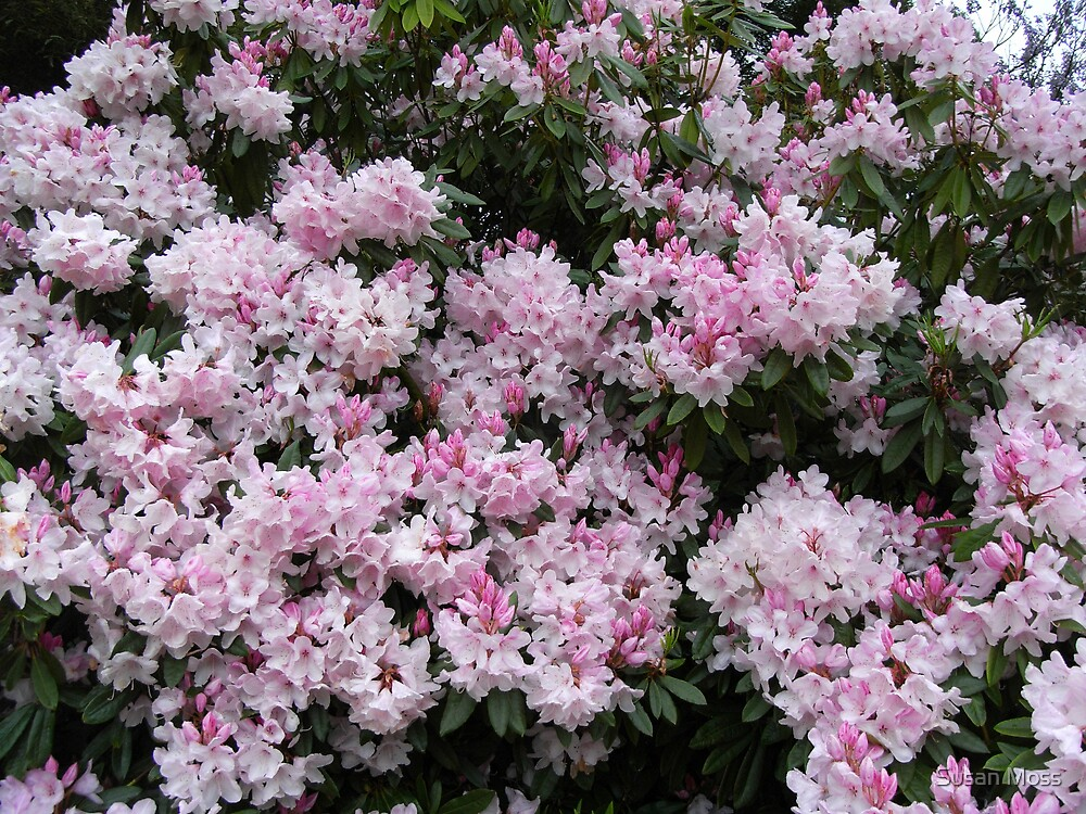 Rhododendrons in flower by Susan Moss