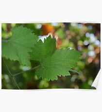 Grape Leaf Poster