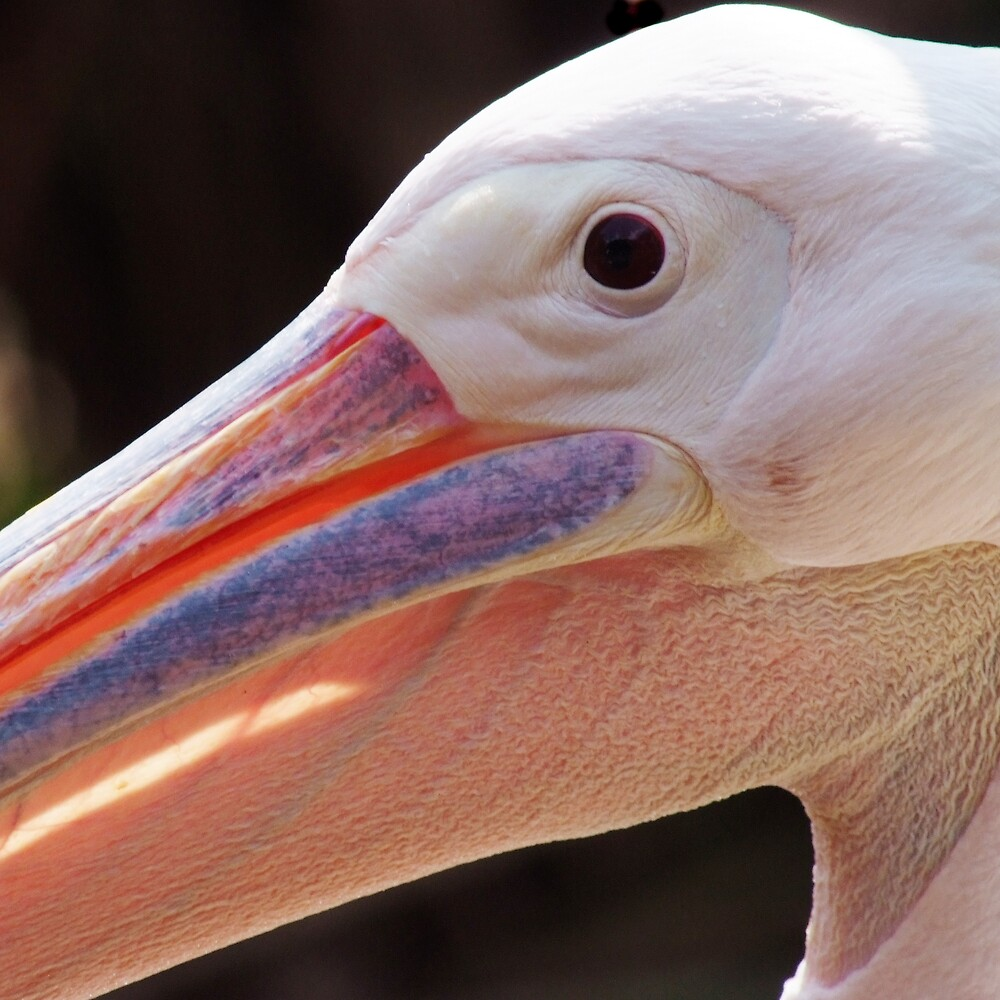 Pelican up close by richardseah