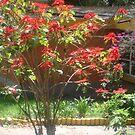 Poinsettia/Flor de Nochebuena  Mexico 2011 by Randy Burns