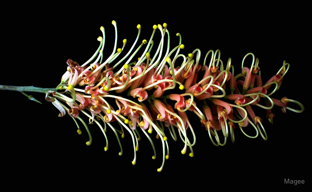 Grevillea by Magee