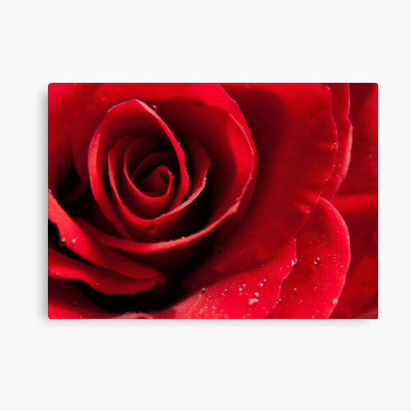 Rose with water drops Canvas Print