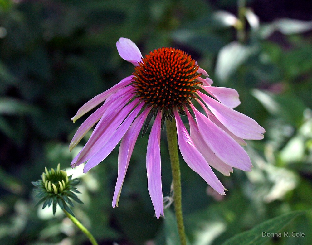 Echinacea by Donna R. Cole
