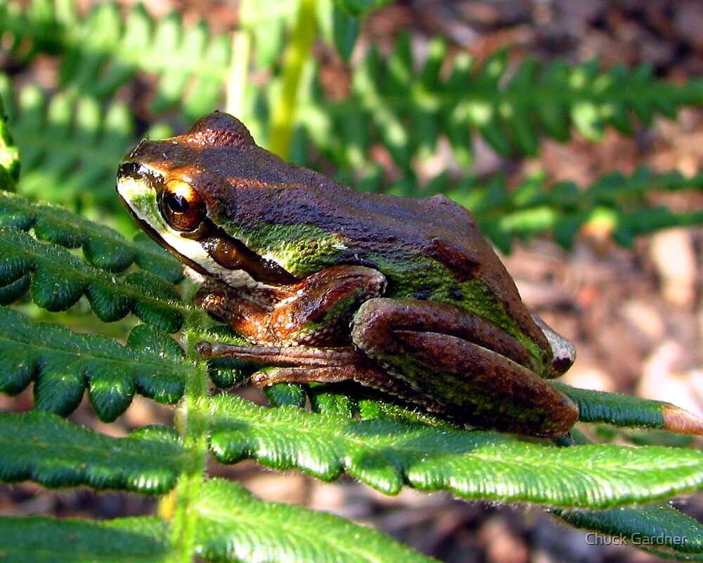 Tree Frog On A Fern by Chuck Gardner