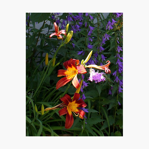 Daylilies in the Wildflowers Photographic Print
