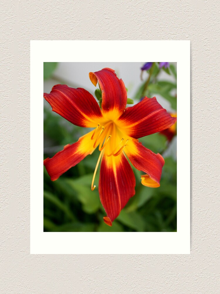 Alternate view of Red Daylily Art Print