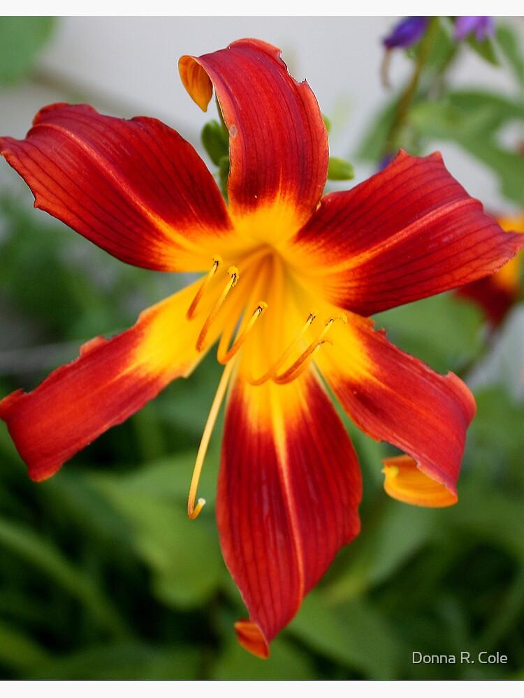 Red Daylily by alwaysdrc