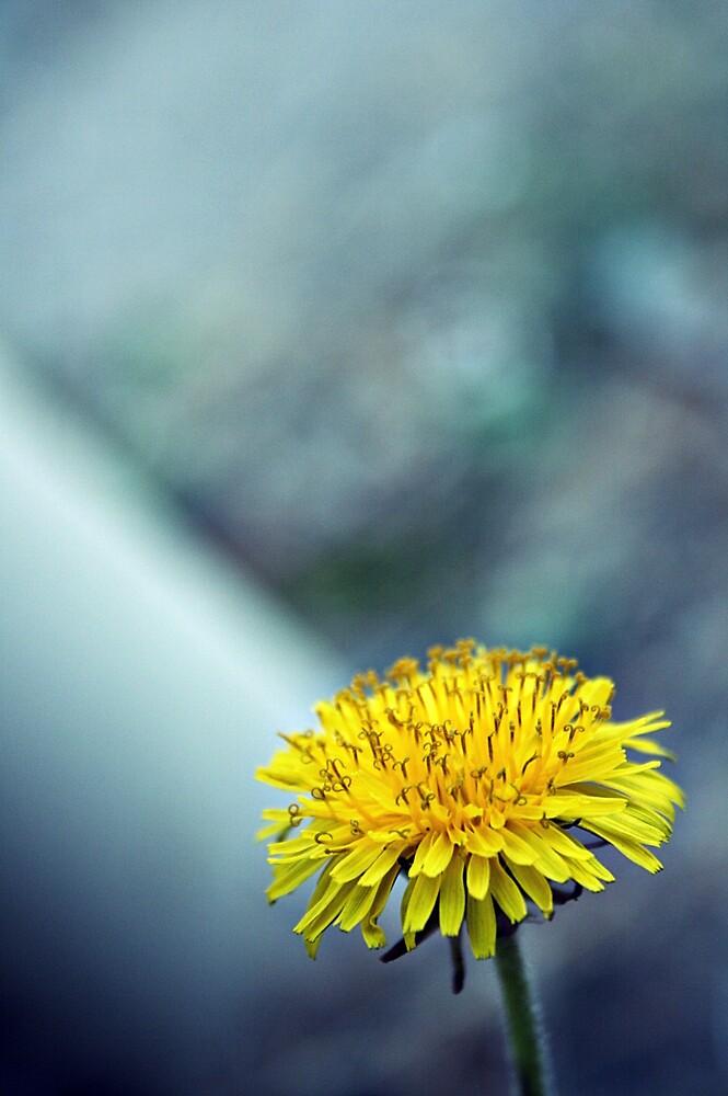 Dandelion by Melissa  Carroll