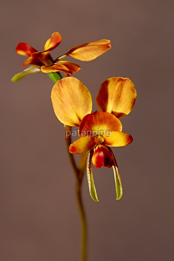 Donkey Orchid. by patapping