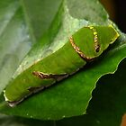 Caterpillar by AnnDixon