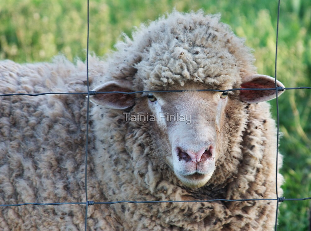 Ewe Looking At Me? by Tainia Finlay