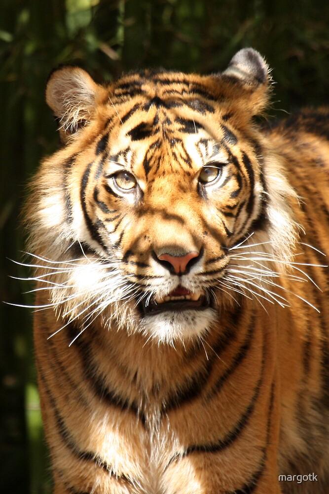 Tiger by margotk