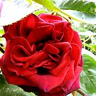 Red Red Rose by Trevor Kersley