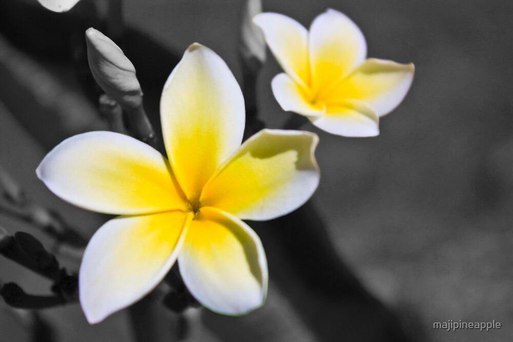 Yellow Plumeria by majipineapple