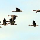 Wild geese by Terence J Sullivan