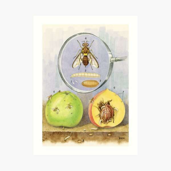 Queensland Fruit Fly Art Print