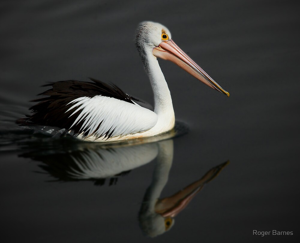 Pelican Reflection III by Roger Barnes