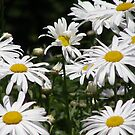 Darling Daisies by Luann Gingras