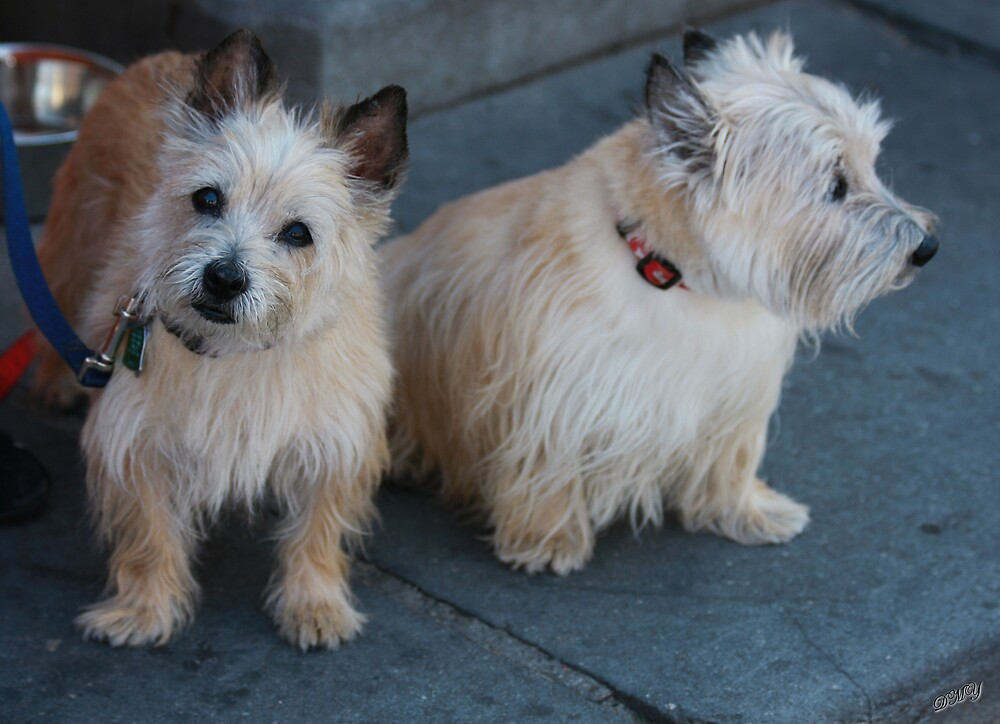 Cairn Terriers by shadyuk
