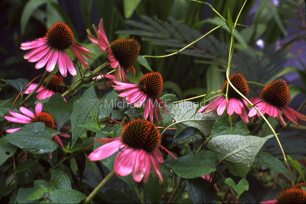 Cone Flowers by Michael McCasland