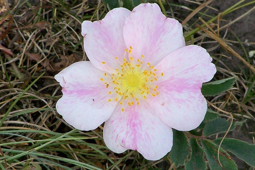 Wild prarie rose by pamela11