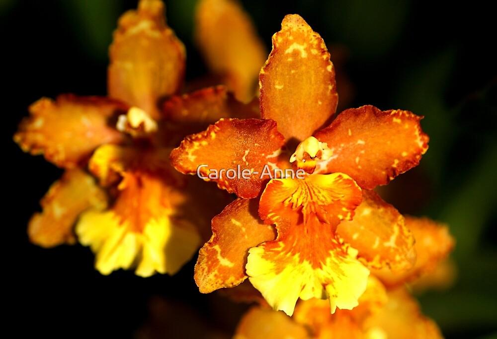 Hybrid Cattleya Orchid by Carole-Anne